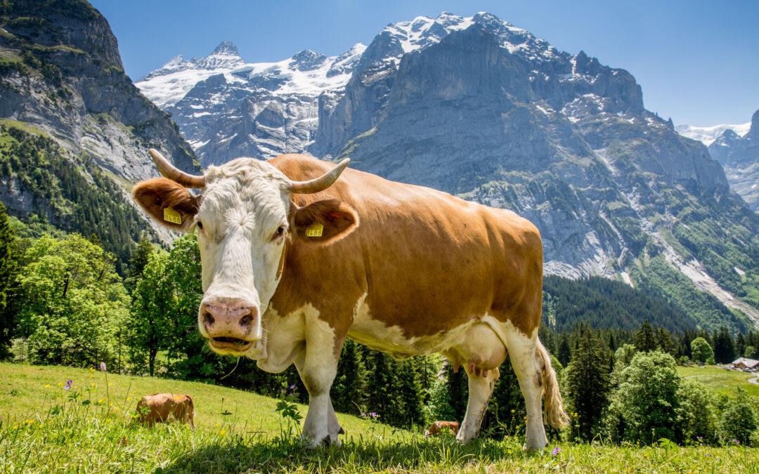 Deine Kuh – dein Käse