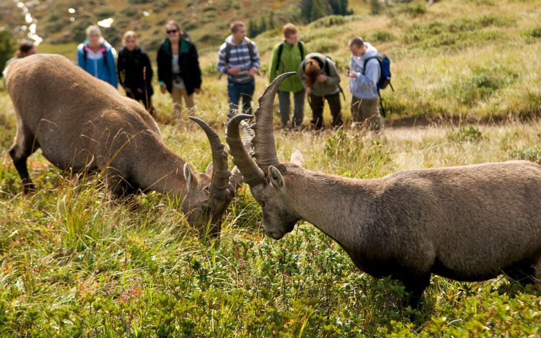 Wildtierbeobachtung Niederhorn